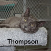 Thompson was adopted from the Cat House and Adoption Center on Saturday, October 3, 2015. <br /> <br /> Thompson<br /> <br /> Mama's boy.<br /> <br /> Following your mom gets a boy into trouble. Thompson found himself lost and hoping to charm someone into getting him back to safety, although his direction kept bringing him back to the same place. Can you help a boy find a home?