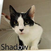 Shadow was adopted from the Cat House and Adoption Center on Saturday, October 17, 2015.<br /> <br /> Shadow<br /> <br /> Dreamer.<br /> <br /> Shadow saw what she wanted and tried to achieve her dream. She found a friend and became his shadow. She raised her kittens and did a fine job. Shadow dreams of being in the home of a compassionate person with a large heart that wants a shadow of their own.