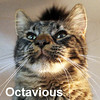 Octavious Star was adopted from the Cat House and Adoption Center on Saturday, June 13, 2015<br /> <br /> Octavious<br /> <br /> Roman ancestry left behind.<br /> <br /> An easier life is what Octavious desires and one where he still may have servants and be allowed to reign over his new castle. Retired and relaxing in his new life has brought the contentment of purrs and kneading.