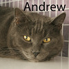 Andrew was adopted from the Cat House and Adoption Center on Saturday, August 1, 2015.<br /> <br /> Andrew<br /> <br /> Large and lovable.<br /> <br /> Andrew is a dapper dude and wants to be in a home where he can lounge and stretch his body out. Andrew is a large cat wanting a quiet home with lots of love. Restore his faith in mankind, adopt him.
