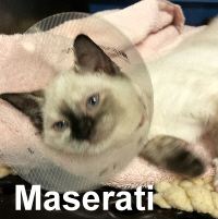Maserati was adopted from her foster home at Steamboat Animal Hospital on Monday, November 2, 2015.