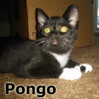 Pongo was adopted from the Cat House and Adoption Center on Saturday, October 17, 2015.<br /> <br /> Pongo<br /> <br /> Devoted.<br /> <br /> A dear fellow with a kind and loyal heart. Pongo is looking for the purrfect home that has room for one more.