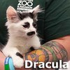 Dracula was adopted from his foster home at Steamboat Animal Hospital on Sunday, July 26, 2015.