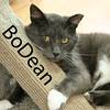BoDean  was adopted from the Cat House and Adoption Center on Saturday, July 25, 2015.<br /> <br /> BoDean<br /> <br /> Lookin' for love...<br /> <br /> In all the wrong places - until now. BoDean can't tell us his whole story, but we do know he is rescued and safely awaiting his forever home. He'll bless the day he discover another heart - lookin' for love.