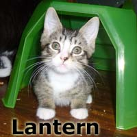 Lantern and Flicker were adopted from their foster home at South Bay Veterinary Hospital on Sunday, September 20, 2015.<br /> <br /> Lantern will warm your heart and home with his shining personality. Lanny is a busy boy full of kitten energy and love. He does not need a mantle or batteries to light his path straight to you.