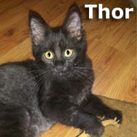 Thor and Black Widow were adopted together from the Cat House and Adoption Center on Saturday, November 7th, 2015.