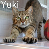Yuki was adopted from the Cat House and Adoption Center on Saturday, August 22, 2015<br /> <br /> Yuki<br /> <br /> What happened?<br /> <br /> Lucky and loved again feels good to this very special girl. Living with a feral colony without human contact and sparse meals was tough. She is a social girl and prefers hands on when eating and thrives with being fussed over.