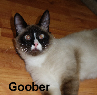 Goober was adopted from the Cat House and Adoption Center on Thursday, May 28, 2015.<br /> <br /> Goober<br /> <br /> A chocolate covered nut.<br /> <br /> Not being given a chance to show his full potential and going from one bad place to another, thrown out like the trash, Goober is ready for a new life. Young, adorable and ready for a forever home.