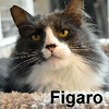 Figaro was adopted from the Cat House and Adoption Center on Saturday, April 2, 2016.<br /> <br /> Figaro<br /> <br /> Lost without Mister Geppetto and Pinocchio.<br /> <br /> Found wandering and begging to come into a home in Lacey, Figaro definitely wants to be inside and catered to. A dashing fellow with a lot of personality, he will bring new life to your home.