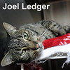 Joel Ledger and Denise Paver were adopted from the Cat House and Adoption Center on Friday, April 1, 2016.<br /> <br /> Joel Ledger<br /> <br /> Off the ledge and on the level.<br /> <br /> This refined gentleman is happy to have a life of warmth, regular meals, and love. A distinguished face to capture your eye and an inner warmth that will win your heart.