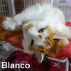 Blanco was adopted from the Cat House and Adoption Center on Saturday, June 18, 2016.<br /> <br /> Blanco <br /> No, I am not (all) white.<br /> <br /> A big boy that wants your attention and all the love he can get. Blanco would do well being an only spoiled boy or with another cat. He is a gentle soul with a lot of charm to melt your heart.