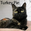 Turkey Pie was adopted from the Cat House and Adoption Center on Saturday, January 16, 2016.<br /> <br /> Turkey Pie<br /> <br /> Sugar Pie Honey Bunch.<br /> <br /> She can't help herself, she wants you and nobody else. Dear girl dumped in rural Thurston County in rough shape and un-spayed. Healing well and happy to have a soft spot to land. Her start was rough, although, she knows she has a great life ahead of her. Do you want some Turkey Pie?