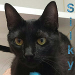 Silky was adopted from the Cat House and Adoption Center on Saturday, September 10, 2016.<br /> <br /> Silky<br /> <br /> So smooth.<br /> <br /> With a sleek soft coat and an outgoing loving personality, this great cat will be a wonderful companion. Silky is grateful motherhood and street living are behind her and she is the focus in her world. Lovely lady.
