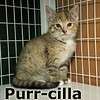 Purr-cilla was adopted from the Cat House and Adoption Center on Saturday, July 30, 2016.<br /> <br /> Purr-cilla<br /> <br /> Pretty princess Purr-cilla. She's a dainty little thing who is picture purrfect. She likes to know what's going on around her before she jumps in.