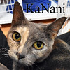 Ka Nani was adopted from Steamboat Animal Hospital on Monday, August 15, 2016.<br /> <br /> Ka Nani<br /> <br /> The beautiful one.<br /> <br /> Outgoing and loving, wants to wrap her arms around your neck and give a little tenderness, and yet, try putting her in a cage or around dogs and she is instantly a different girl. Healed from a pyometra infection/surgery and no more kittens. She's ready to head to a new home.