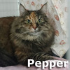 Pepper was adopted from the Cat House and Adoption Center on Saturday, January 23, 2016.<br /> <br /> Pepper<br /> <br /> The purrfect recipe.<br /> <br /> Homeless due to separation, she was not welcomed by her new housemates. Pepper is the best mix of sweet and savory, and wants your love and affection.