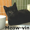 Meow-vin was adopted from the Cat House and Adoption Center on Saturday, September 17, 2016.<br /> <br /> Meow-vin<br /> <br /> Stealth mode activated. Meow-vin is dressed up in his black spy gear, ready for the right meow-ment to join the fun. He likes to be prepared and do his surveillance first.