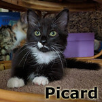 Picard was adopted from the Cat House and Adoption Center on Saturday, July 30, 2016.<br /> <br /> Picard<br /> <br /> The next generation.<br /> <br /> With wisdom beyond his years, Picard is a master of diplomacy and fuzzy mice. He has graduated the academy and is ready to move on to his life with you, and he thinks it would be super if Kirk came too.