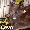 Cevo was adopted from her foster home at Steamboat Animal Hospital on Friday, January 8, 2016.