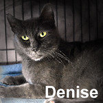 Joel Ledger and Denise Paver were adopted from the Cat House and Adoption Center on Friday, April 1, 2016.<br /> <br /> Denise Paver<br /> <br /> Dependent on other cats.<br /> <br /> Cute and yet so serious. This dashing little lady came from a group with little human interaction, and yet she is so dependent on the reassurance that life is good from other family members. Do you have a lonely cat?
