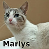Marlys was adopted from the Cat House and Adoption Center on Saturday, August 13, 2016.<br /> <br /> Marlys<br /> <br /> She went to a garden party.<br /> <br /> Dumped and looking for solace, Marlys found a garden shed for cover and handouts from a lovely gardener. Too bad the dogs said she was not welcome in the house! Ever so sweet, she is safe inside now and wanting a home of her own.