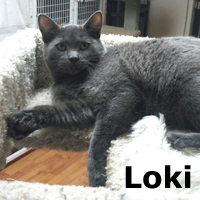 John Loki was adopted from the Cat House and Adoption Center on Saturday, January 2, 2016.<br /> <br /> John Loki<br /> <br /> Every home needs a John.<br /> <br /> Luck was on his side when a fellow rescuer put out a plea for help. Growing up inside until he was maturing, he faced living outdoors due to his conflicts with small children. Fiesty, friendly, and handsome.