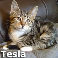 """Tesla and Saison were adopted from the Cat House and Adoption Center on Monday, December 7, 2015.<br /> <br /> Tesla<br /> <br /> She's hitting the road<br /> <br /> This adorable girl was found in the wheel well of a car after a trip on the freeway. Though she was frightened of humans at first, she has since become a super sweet baby girl who will shower you with purrs! Can you handle her sporty good looks and electric energy? She's fully charged and ready to push the """"start"""" button on her life with you"""