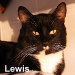 Lewis Luna was adopted from the Cat House and Adoption Center on Saturday, November 14, 2015.<br /> <br /> Lewis<br /> <br /> Inspector Lewis.<br /> <br /> His crime solving days are over and ahead of him is searching out a sunny spot to relax. Lewis still has the desire to track movements that interrupt his daily spas, and yet, he is uninterested unless there is a tasty reward as payoff.