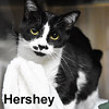 Hershey was adopted from the Cat House and Adoption Center on Saturday, April 16, 2016. <br /> <br /> Hershey<br /> <br /> Life is like a box of chocolates.<br /> <br /> There are delicious caramels and sweetness in each bite ... sometimes there is a nut. Some nuts are better than others and let's just say she is looking for a fun, loving and delightful nut that knows what they have when they have it.