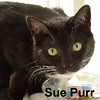 SuePurr and DanDee were adopted together from the Cat House and Adoption Center on Saturday, December 12, 2015.<br /> <br /> Sue Purr<br /> <br /> Supercalifragilisticexpialidocious!<br /> <br /> Sue and Dan were left to be on the street when a death occurred. These two very special kitties are wonderful and we believe are siblings. Affectionate and wanting to be with a human, Sue rubs all around your legs.