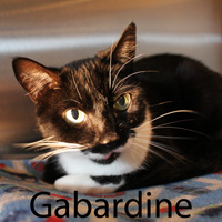 Gabardine was adopted from the Cat House and Adoption Center on Saturday, April 23, 2016.<br /> <br /> Gabardine<br /> <br /> Dressed for success<br /> <br /> and ready to take interviews to see who best qualifies for her new family. Found laying in a ditch during the extreme heat this Summer, she is gracious to accept the help we can provide. It is up to you to make room in your heart and home to make her life complete.