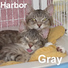 Gray and Harbor were adopted from the Cat House and Adoption Center on Saturday, June 18, 2016.<br /> <br /> Gray and Harbor<br /> <br /> Guess what county we are from!.<br /> <br /> Thin, flea infested, and hungry, these two brothers are the sweetest and most loving teenagers you could hope to meet. Bonded siblings that share and play well together will melt your heart if you just hold them. Both are social and energetic ... very dear.