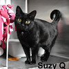 Suzy Q was adopted from the Cat House and Adoption Center on Saturday, March 5, 2016.<br /> <br /> <br /> Suzie Q<br /> Oh, Suzie Q.<br /> <br /> Just like the lyrics to the song, this fine and beautiful girl wants you to say that you will be true. Living in a communal situation without any consistency is difficult for a cat. This loving girl is so sweet, very loving, and so accepting. How about you?