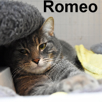 Romeo was adopted from the Cat House and Adoption Center on Tuesday, March 29, 2016.<br /> <br /> Romeo<br /> <br /> Wherefore art thou Romeo?<br /> <br /> Wandering in an over populated area known for many cats without homes, this fine feline is so sweet and has quite a tender side to him. He would flourish in a quiet home, lots of love and sleeping under the covers