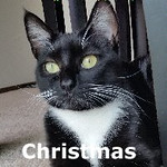 Christmas (and Christine) was adopted from her foster home at Steamboat Animal Hospital on Saturday, November 14, 2015.<br /> <br /> Christmas<br /> <br /> Every day is Christmas for Miss Miss!<br /> <br /> Santa does answer prayers and this very adorable girl got a little magic this year. From a home with mental illness and violence to a new world of peace and playing. Adorable, huggable, and sweetness through and through. Her permanent limps in her front legs don't slow this Diva down. Miss Miss would love to have a companion (and she formerly lived with a dog).