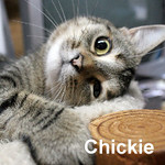 Chickie was adopted from the Cat House and Adoption Center on Saturday, November 28, 2015.<br /> <br /> Chickie<br /> <br /> Unsuccessful chicken hunter.<br /> <br /> Too cute and declawed, this little darlin' is off the streets and out of the barn. We couldn't be happier to have her safely detained and spoiled rotten while she picks out that special someone coming through our doors.