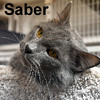 Saber was adopted from the Cat House and Adoption Center on Saturday, March 26, 2016.<br /> <br /> Saber<br /> <br /> A little long in the tooth.<br /> <br /> Despite the fact he had an upper and lower canine going through a hole in his lip, this handsome guy is magnificent. He is large and lovable, interactive and plays well with most. Come meet this lovable feline.