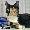 Sage was adopted from the Cat House and Adoption Center on Saturday, March 25, 2017.<br /> <br /> Sage<br /> <br /> Two faced darling.<br /> <br /> This beauty has a split face and is just charming. She's had her last litter of kittens and will now be the focus of a new family. She will grace you with her beauty and touch you with her tortitude.