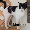 Marbles was adopted from her foster home at Steamboat Animal Hospital on Wednesday, August 5, 2017.<br /> <br /> Marbles<br /> <br /> Easy to please with a warm lap and savory salmon treats.<br /> <br /> This playful girl is happy as can be with a little space and a paper bag to pop in and out of. It's hard to believe the trauma this young sweet girl has endured. She is now hoping to spend her life as the only feline, but would gladly accept a dog as her housemate. Make room in your bed for this sleeping beauty!