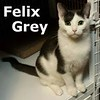 Felix was adopted from his foster home on Wednesday, July 26, 2017.<br /> <br /> Felix Grey<br /> <br /> And his magic bag of tricks<br /> <br /> The magic is in his majestic eyes and the trick is giving him the time and patience to trust and adore you. Slow to purr, but ever so rewarding.