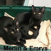 Merlin and Emrys (brothers) were adopted together from their foster home at Steamboat Animal Hospital on Sunday, November 6, 2016.