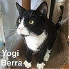 Yogi Berra was adopted from the Cat House and Adoption Center on Saturday, August 5, 2017.<br /> <br /> Yogi Berra<br /> <br /> Hey there Boo Boo.<br /> <br /> Just adorable, inside and out. This exuberant young fellow will blend in and bring some sunshine year around. He exudes charm and you can't help but smile.