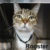 Rooster was adopted from the Cat House and Adoption Center on Saturday, November 19, 2016.<br /> <br /> Rooster<br /> <br /> Cock-a-doodle doo!<br /> <br /> Gorgeous and talkative, this youngster has settled into our facility and yet, he yearns to have a human to carry on conversations with and talk about his day. Do you need someone to chat with and tell how your work day was?