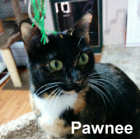 Pawnee was adopted from the Cat House and Adoption Center on Saturday, May 20, 2017.<br /> <br /> Pawnee<br /> <br /> She knows when to make her move.<br /> <br /> Like in the game of chess, this little gem knows how to put you in checkmate. She flops on her side growling, purring and kneading while keeping her focus on you. Pawnee seems so happy to be with us that we are sure she will mesmerize you.