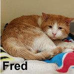 Fred (FIV+) was adopted from Steamboat Animal Hospital on Saturday, January 21, 2017.