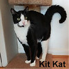 Kit Kat was adopted from the Cat House and Adoption Center on Saturday, May 28, 2017.<br /> <br /> KitKat<br /> <br /> Gimme a break!<br /> <br /> This adorable boy wears a tuxedo and is always ready to meet and greet you. Surrendered by a family after being hit by a car, this sweet loving guy certainly needs you to give him a break.
