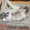 Jimi Jade was adopted from the Cat House and Adoption Center on Saturday, July 29, 2017.<br /> <br /> Jimi Jade<br /> <br /> Emojii!<br /> <br /> Jimi Jade was a homeless teenage mom who did a fantastic job at raising her kittens and now it is her turn to enjoy life. Jimi has discovered toys to be endless fun, and is ready to wrestle with another kitten or seek comfort in your lap.