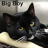 "Big Boy was adopted from the Cat House and Adoption Center on Saturday, January 7, 2017.<br /> <br /> Big Boy<br /> <br /> Loved by many.<br /> <br /> Big Boy was cared for by the neighborhood, although no one truly wanted him. This big marshmallow is confident and cuddly, large and in charge, and ready and waiting for you. Because he, Big Boy, was unneutered and outdoors, he was attacked by another unaltered outdoor cat and contracted a disease. It is a disease that causes immune deficiency. (It is NOT ""AIDS."") FIV+ cats can live long, healthy lives, but need to be indoors to lessen exposure to health challenges."