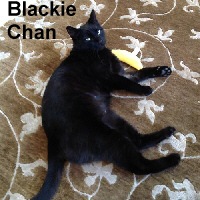 Blackie Chan was adopted by his foster home on Friday, November 18, 2016.<br /> <br /> Blackie Chan<br /> <br /> Black velvet.<br /> <br /> Found abandoned in a residential neighborhood, all this handsome boy wanted was some food and a little attention from humans. He loves to be petted and has a very mellow personality. His black coat is very shiny and he is quite happy to have regular meals and a safe place to sleep.