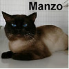 Manzo was adopted from the Cat House and Adoption Center on Saturday, May 20, 2017.<br /> <br /> Manzo<br /> <br /> Power and purring.<br /> <br /> This handsome loving guy is reformed and has retired from street fighting onto lap loving. The big blue eyes pop behind the mask he is wearing and the little voice from within the big body is priceless. Meet this refined gentleman.